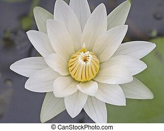 白色, 蓮花