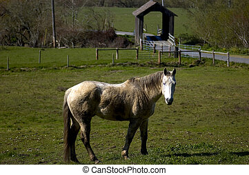 old grey mare - grey mare standing in green meadow with...