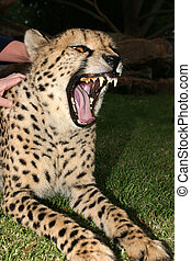 Taste for life, stroke a cheetah - Wildlife cheetah