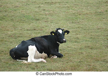 The little cow - cow