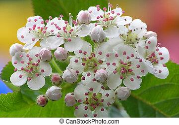 Apple blossom at springtime