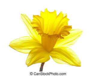 easter daffodil - Close-up of yellow easter daffodil against...