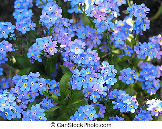 Forget me not as a background