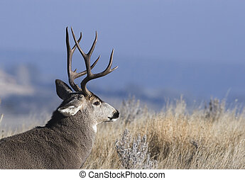 City buck - Mule deer