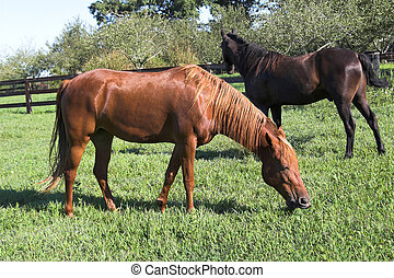 Beautiful horses - Brown & black horses in wood fenced...