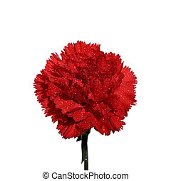 Carnation 1 - Red carnation flower on a white background