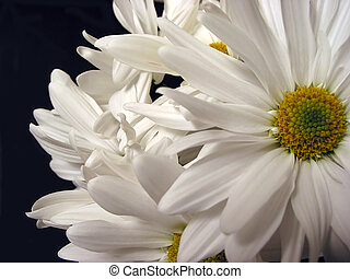 White daisies on black background