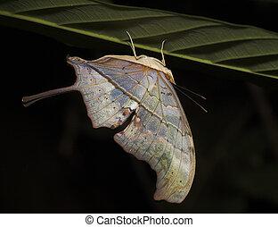Butterfly Upsidedown - Peru