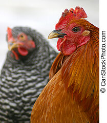 Rev.&Mrs. Kopeland - Game rooster and barred rock hen