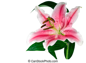 Lily iso - Isolated lily