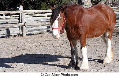 Clydesdale Horse - A Clydesdale horse standing in a pen