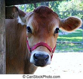 Cow - A tan cow peeking through a fence