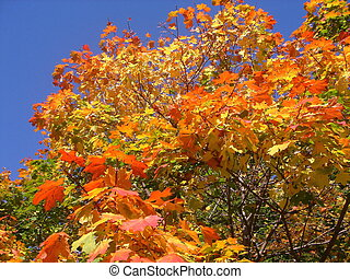 Fall - Autumn tree with red and yellow leaves on a...