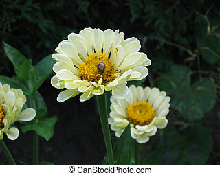 Creamy Flowers - A pair of cream coloured flowers