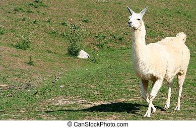 Llama - A llama running across a field
