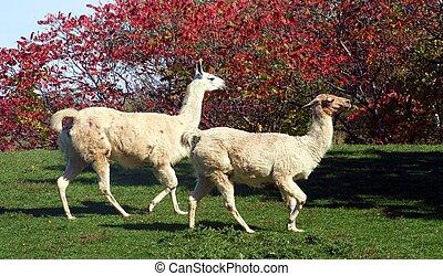 Llamas - Two llamas running across a field