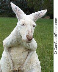 kangaroo - albino kangaroo