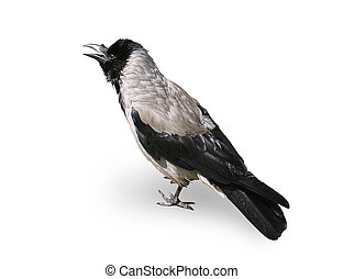 Crow-Bird - Crow - A Bird Isolated On White Background,...