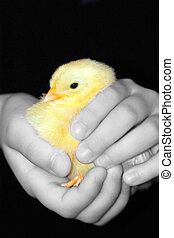 Easter chick - easter chick just hatched