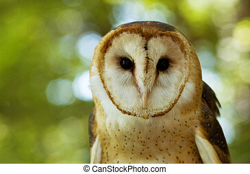 Barn Owl - head of a barn owl