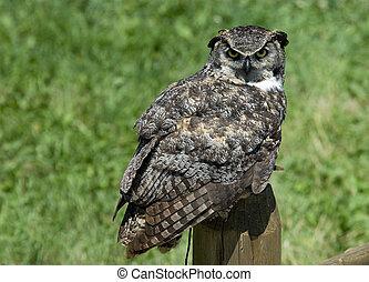 Horned Owl - owl