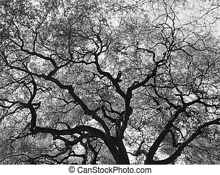 Giant Oak Tree - A black and white photograph of a giant oak...