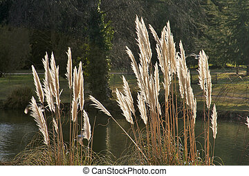 Pampas grass - Ten-foot tall pampas grass at English country...