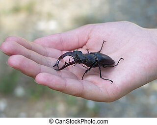 Stag beetle in hand - Stag beetle in a hand
