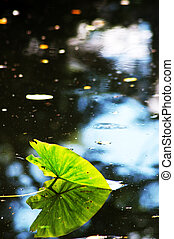 lotus leaf in a pond - lotus leaf floating in a pond