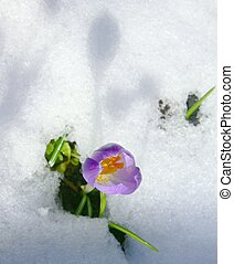 Snow crocus - A crocus in the melting spring snow