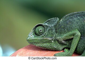 Chameleon - Green Chameleon