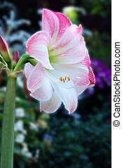 Apple Blossom Amaryllis - A tropical American bulbous plant...