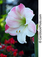 Apple Blossom Amaryllis - tropical American bulbous plants...
