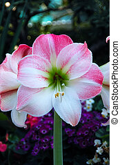 Pink Amaryllis - Pink Apple Blossom Amaryllis - a tropical...
