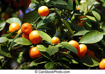Calamondin Citrus Oranges, native to China, X...
