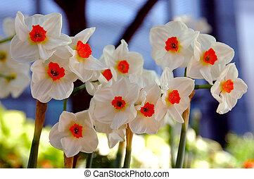 Daffodil Geranium, Narcissi Tazetta - Daffodil Geranium,...