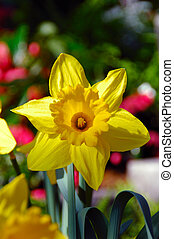 King Alfred Trumpet Narcissus Daffodil (Amaryllidaceae),...