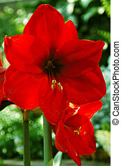 Merry Christmas Amaryllis - Brilliant, deep velvet red Merry...