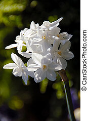Paperwhite Ziva Tazetta Daffodil, a cultivated variety of...