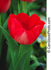 Tulipa Hollandia Triumph Tulip - Bright red triumph tulip...
