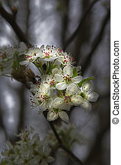blooms at night - Spring time blooms on pear tree, leaves...
