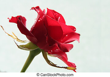 Sad red rose - Dark red rose against a celadon background