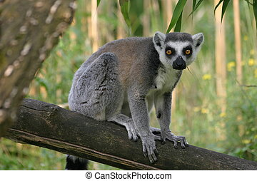 Lemur catta - Ring-tailed lemur sitting on a tree