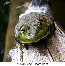 Bull frog on a log near Wakefield, Quebec, Canada