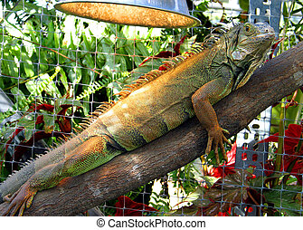 Iguana in Captivity