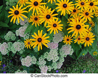 Black Eyed Susans in late summer