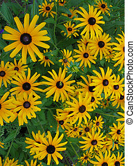 Black Eyed Susans - Beautiful Black Brown Eyed Susans