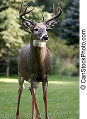 White Tailed Deer - white tailed deer buck standing tall and...