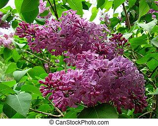 Lilacs - purple lilacs in bloom