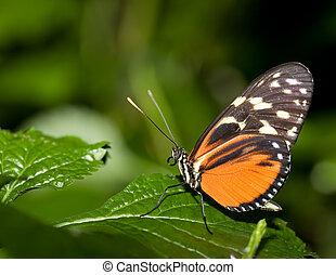 borboleta, inseto,  007